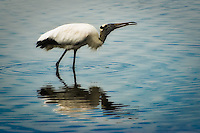 An endangered wood stork catches a crab in a Sanibel Island estuary.