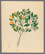 Hexand. Mono. [Mimusops obovata] from a collection of ' Drawings of plants collected at Cape Town ' by Clemenz Heinrich, Wehdemann, 1762-1835 Collected and drawn in the Cape Colony, South Africa