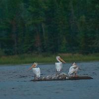 American white pelicans (Pelecanus erythrorhynchos) swim in Lake of the Woods, Ontario, Canada.