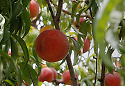 Harmony peaches are thick on trees at the Mills Apple Farm near Marine. The trees are producing lots of very large peaches, due to the high rainfalls the Madison County-based orchard has experienced this season.