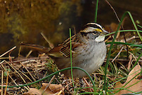 White-throated Sparrow. Backyard Winter Nature in New Jersey. Image taken with a Nikon 1 V2 camera and 600 mm f/4 VR lens (ISO 160, 600 mm, f/4, 1/320 sec).