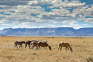 Navajo Reservation, wild horses, Arizona