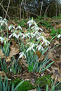 SNOWDROP Galanthus nivalis (Liliaceae) Height to 25cm<br /> Familiar spring perennial that grows in damp woodland. FLOWERS are 15-25cm long and nodding, the 3 outer segments pure white, the inner 3 white with a green patch; solitary and nodding (Jan-Mar). FRUITS are capsules. LEAVES are grey-green, narrow and all basal. STATUS-Possibly native in S Britain but widely naturalised.