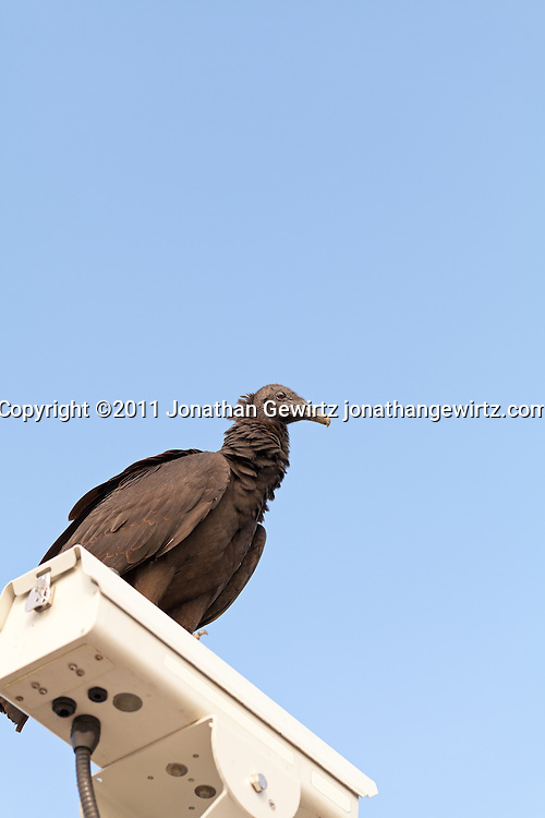 A black vulture (Coragyps atratus) perches on a video camera in Everglades National Park. WATERMARKS WILL NOT APPEAR ON PRINTS OR LICENSED IMAGES.
