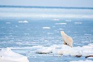 01874-12011 Polar Bear (Ursus maritimus) standing along Hudson Bay in winter, Churchill Wildlife Management Area, Churchill, MB Canada