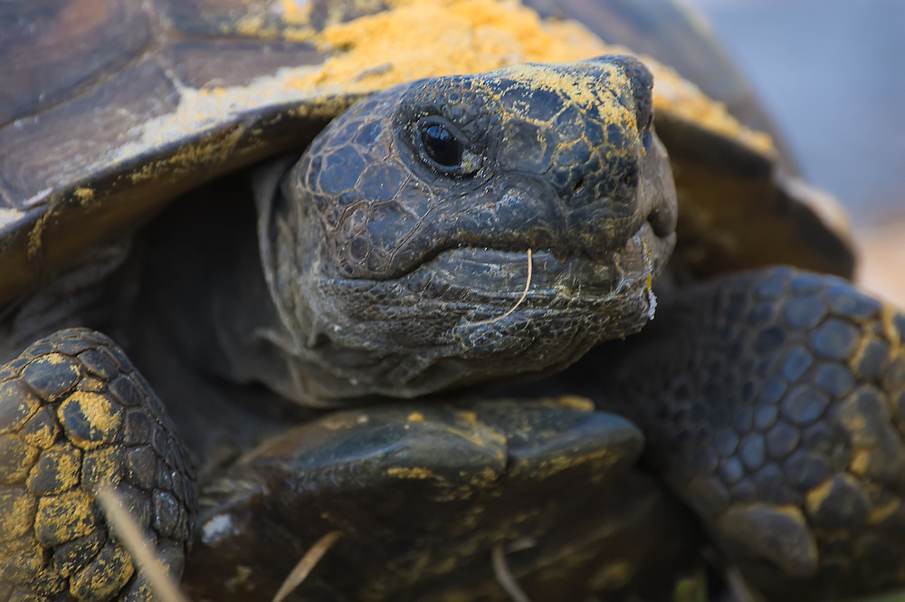 This old gopher tortoise was found in Estero, Florida in an area with a large healthy population. Taking a break from some recent digging, this one was covered in packed, stained sand, common underground in pine scrub habitats.