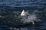 bronze whaler, or copper shark, Carcharhinus brachyurus, gets a mouthful as it lunges through baitball of sardines, Sardinops sagax, during the annual Sardine Run, Transkei, South Africa ( Indian Ocean )