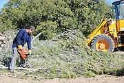 Israel, Galilee, Ya'ar Hanoflim forest, Foresters working in a pine forest, cutting down trees to to thin out the forest