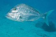Jolthead Porgy (Calamus bajonado)<br /> BONAIRE, Netherlands Antilles, Caribbean<br /> HABITAT & DISTRIBUTION:<br /> Florida, Bahamas, Caribbean, Gulf of Mexico south to Brazil.