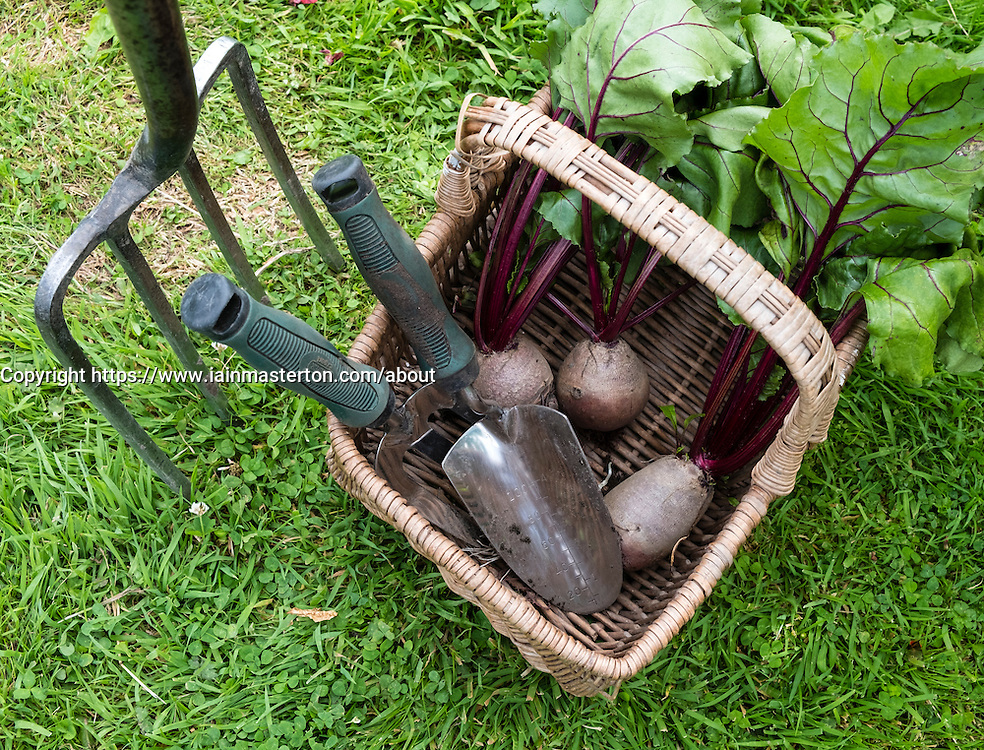 Detail of fresh picked beetroot in basket at allotment garden