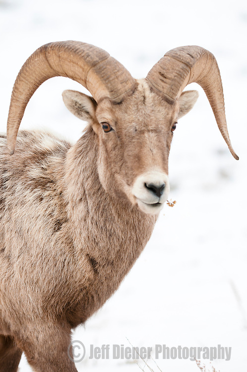 A bighorn sheep forages for winter food on the National Elk Refuge in Jackson Hole, Wyoming.