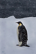 The Emperor Penguin (Aptenodytes forsteri) is the tallest and heaviest of all living penguin species. It is endemic to Antarctica, and is the only penguin species that breeds during the Antarctic winter. Emperor Penguins mainly eat crustaceans (such as krill) but also occasionally take small fish and squid. In the wild, Emperor Penguins typically live for 20 years, but some records indicate a maximum lifespan of around 40 years.