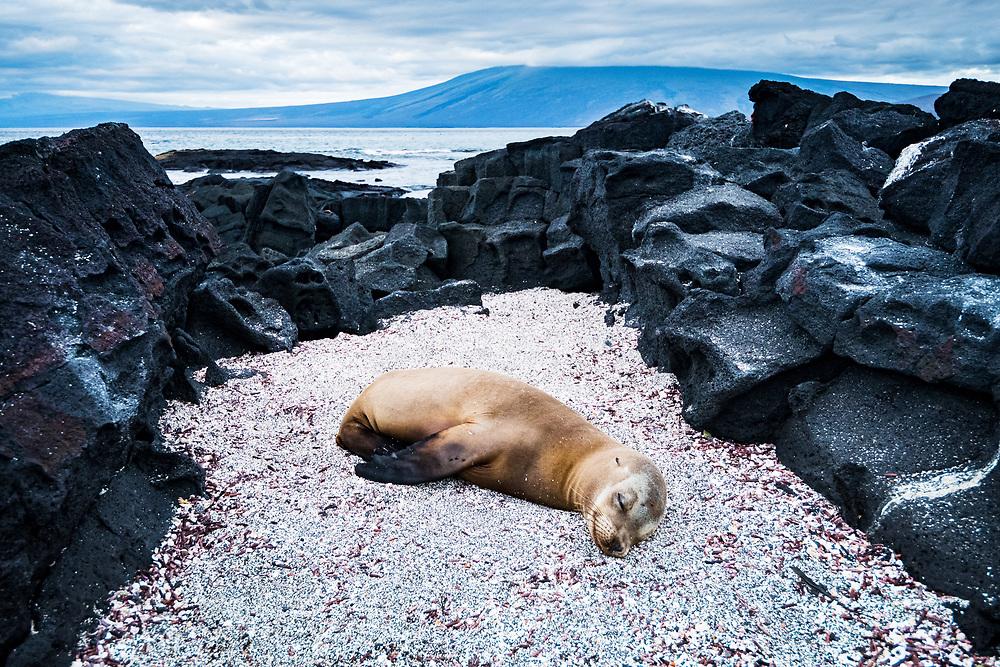 Galapagos sea lion (Zalophus wollebaeki) rests on Fernandina Island, Galapagos, Ecuador.