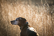 SHOT 12/23/15 4:35:06 PM - Tanner, an 11 year-old male Vizsla, scans the tall grasses of a field in Pueblo, Co. looking for birds at a rest stop. The Vizsla is a dog breed originating in Hungary and are sporting dogs and loyal companions. The Vizsla is a natural hunter endowed with an excellent nose and an outstanding trainability. Although they are lively, gentle mannered, demonstrably affectionate and sensitive, they are also fearless and possessed of a well-developed protective instinct. (Photo by Marc Piscotty / © 2015)