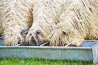 Wensleydale sheep eating from a food trough