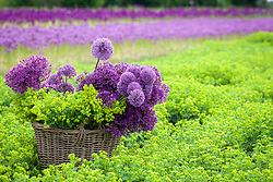 Basket filled with alliums and alchemilla mollis