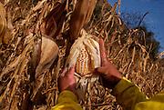 Héctor Mendoza muestra su cosecha de maíz en Tlatenco, Tláhuac 29 de diciembre de 2009. (Foto: Prometeo Lucero)
