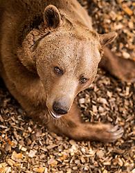 THEMENBILD - ein Braunbär im Wildpark Ferleiten, aufgenommen am 29. April 2018 in Taxenbacher-Fusch, Österreich // a brown bear at the Wildlife Park, Taxenbacher-Fusch, Austria on 2018/04/29. EXPA Pictures © 2018, PhotoCredit: EXPA/ JFK