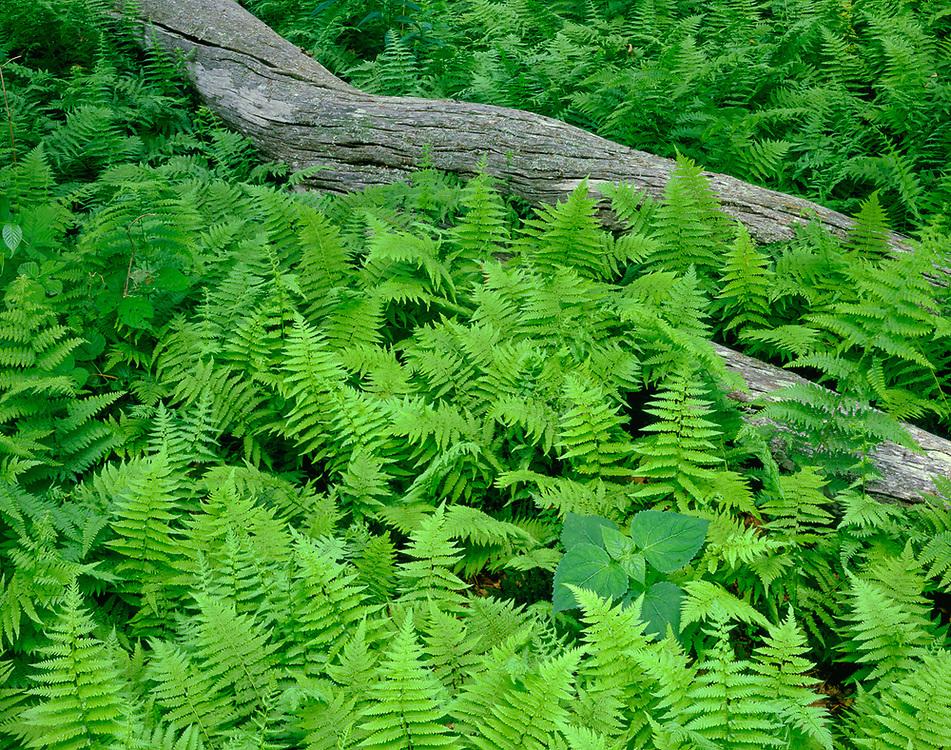Fern design along Appalachian Trail, Great Smoky Mountains National Park, Tennessee, USA