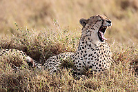 Cheetah yawning in the Masai Mara reserve in Kenya Africa