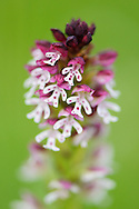 Burnt-tip Orchid, Neotinia ustulata or Orchis ustulata, Deven area, Western Rhodope mountains, Bulgaria