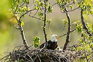 Bald Eagles - nesting