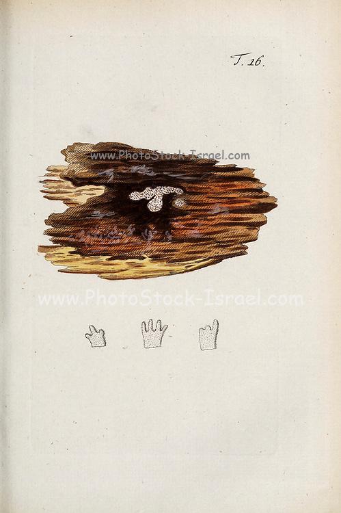 hand painted Botanical illustration of flower details leafs and plant from Miscellanea austriaca ad botanicam, chemiam, et historiam naturalem spectantia, cum figuris partim coloratis. Vol. I  by Nicolai Josephi Jacquin Published 1778. Figure 16