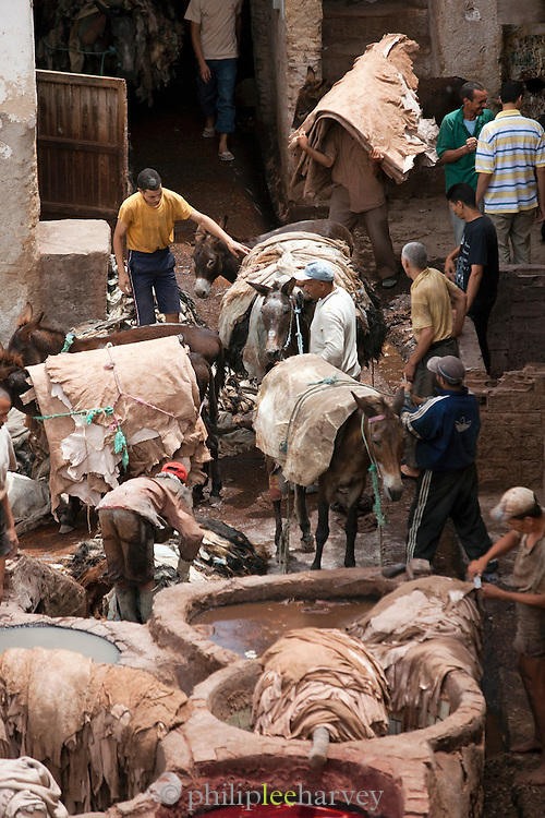 Donkeys carry in fresh leathers to the Tannery in the medina, Fes, Morocco. Men dye the leathers to colour and preserve them.