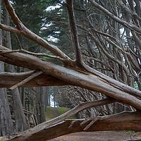 Cypress trunks line a path at Fitzgerald Marine Reserve in Moss Beach, California.