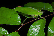 Narrow-winged leaf Katydid (Steirodon sp.)<br /> Yasuni National Park, Amazon Rainforest<br /> ECUADOR. South America