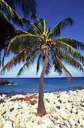 Palm Tree, Lapakahi State Park, Island of Hawaii<br />