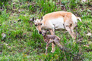 Newborn Pronghorn more commonly and wrongfully known as antelope