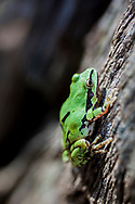 Arizona Tree Frog on pine stump. Found in wet lands on the Overland trail. Top of Sycamore Canyon.