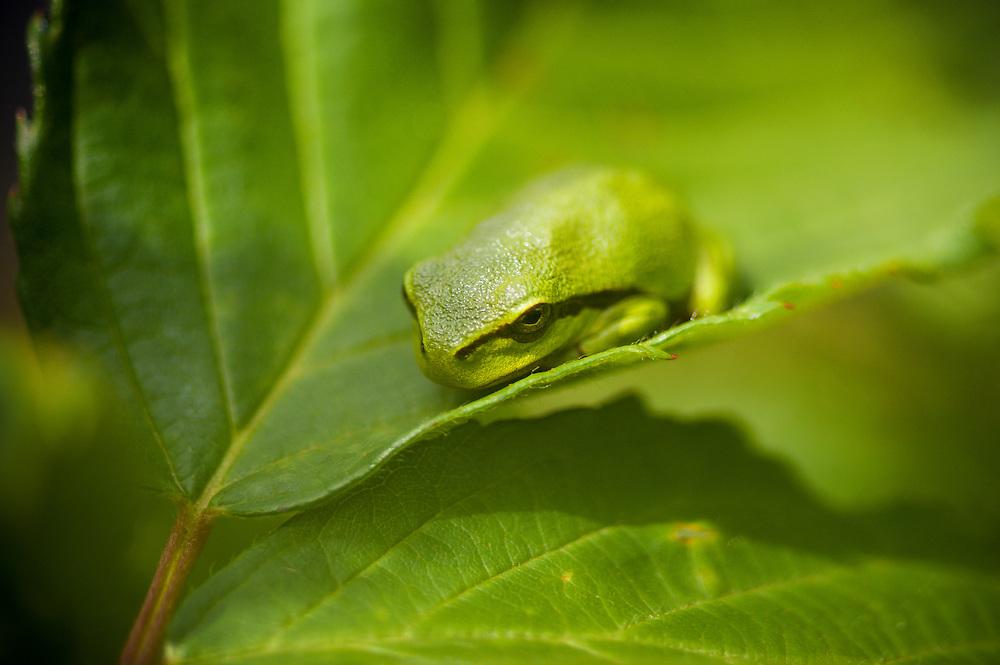 European tree frog (Hyla arborea), lövgroda.<br /> Location: Eneborg, Skåne, Sweden