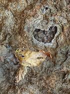 Oak Creek Canyon, leaf on heart stone, autumn, Sedona, AZ