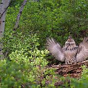 Ruffed grouse performing a drumming ritual to attract female groups. Bangtail Mountains, Montana