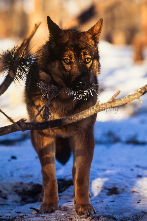 Tsaatan dog with frosted mouth<br /> Nomadic tribe with +-200 individuals left who still live in teepees<br /> Taiga Forest<br /> Northern Mongolia