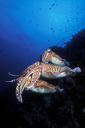 A female Pharaoh Cuttlefish, Sepia pharaonis, hovers near a rocky reef while 2 males compete for her attention. The dominant male maintains close contact with the female to deny competing males an opportunity to mate with her. During such courtship rivalries, males display spectacular, rapidly changing color patterns, probably meant to intimidate their rivals. Richelieu Rock, Thailand, Andaman Sea, Indian Ocean