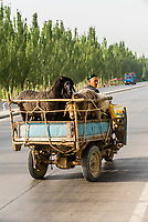 Local Uyghur people heading to the Sunday Livestock market just outside Kashgar (China's westernmost city), Xinjiang Province, China. Kashgar is along the Silk Road, near Tajikistan and Pakistan. Uyghur people are a Central Asian people of Muslim Turkic origin.