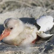 West Indian Flamingo (Phoenicopterusruber) chick at Lake Windsor, Great Inagua, Bahamas.