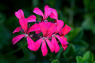 A close-up of a pink geranium flower growing in a pot on the Orkos Estate, Paxos, Greece, Europe