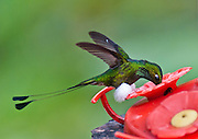 """The Booted Racket-tail (or Racquet-tail; or Racquet-tailed Hummingbird; Latin name Ocreatus underwoodii) in Bellavista Cloud Forest Reserve, Tandayapa Valley, near Quito, Ecuador, South America. Published in """"Light Travel: Photography on the Go"""" book by Tom Dempsey 2009, 2010."""