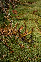 Alpine sundew, Drosera arcturi