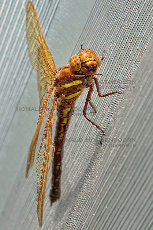 07-08-2015 NED: Bruine glazenmaker libelle, Maarssen<br /> Natuur, libelle bruie glazenmaker