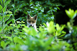 Red fox (vulpes vulpes) cub looks out from undergrowth and bushes in woodland near Loughborough, Leicestershire, England, UK.