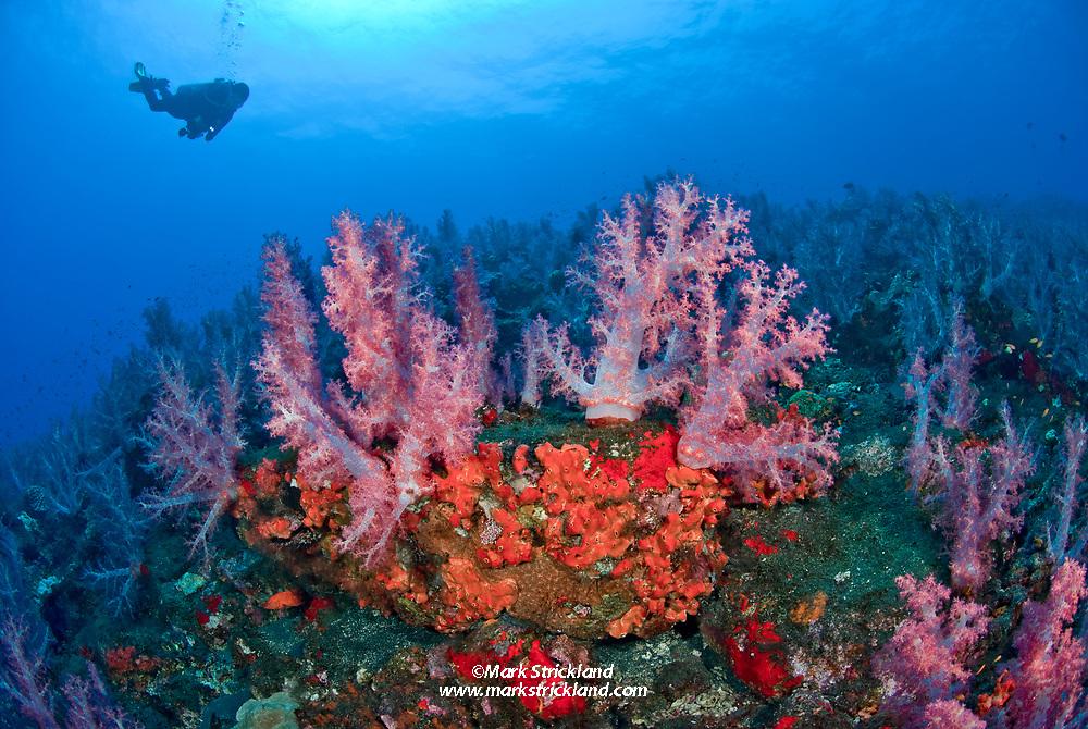 A diver swims above vast undersea garden of encrusting sponge and soft corals, Dendronepthya sp. Barren Island, Andaman Islands, India, Andaman Sea; Indian Ocean