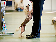 Dog with his owner during a dog show and exhibition in Lysa nad Labem, Czech Republic.