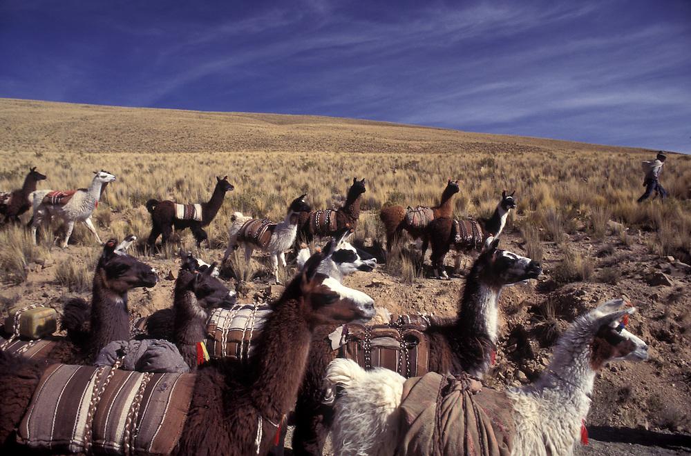 Herd of llamas near Chinchero.