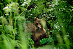 A brown bear takes a break from feasting on salmon in Kamchatka, Russia. The western Bering Sea suffers from high levels of illegal fishing and many areas are overfished. The increasing demand for salmon and salmon caviar, a delicacy in Russia and Japan, is reducing salmon populations beyond the point which they can naturally recover.  Salmon habitat is also under increasing development pressure. The pristine rivers - spawning grounds for salmon - and surrounding landscape are being cut by roads and infrastructure for development. Bears are being threatened not only by poaching but by a dwindling food source.