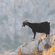 Close-up of a goat on rock
